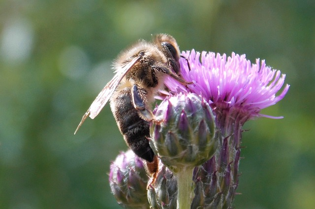 Thistle Flower, Insect, Bee, Thistle, Blossom, Bloom