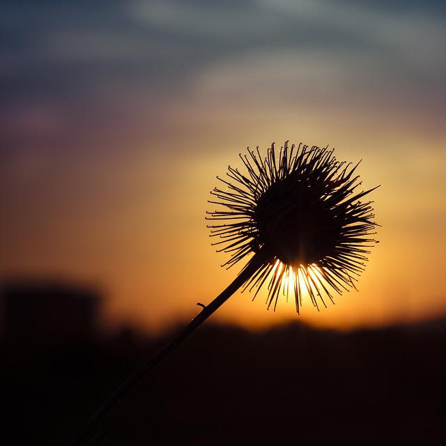 Thistle, Sun, Contrast, In The Evening, Flower