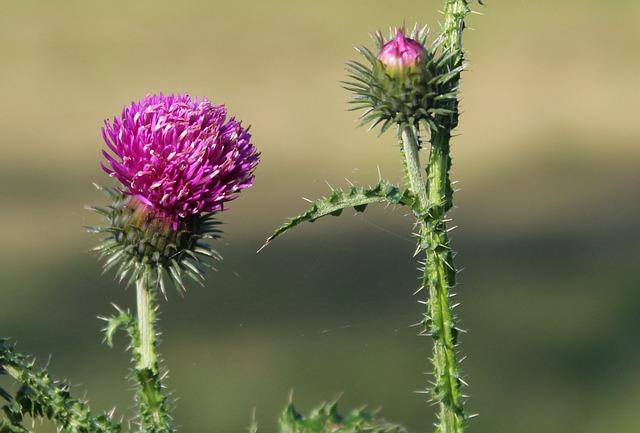 Thistle, Plant, Spikes, Flower, Nature, Thistle Flower