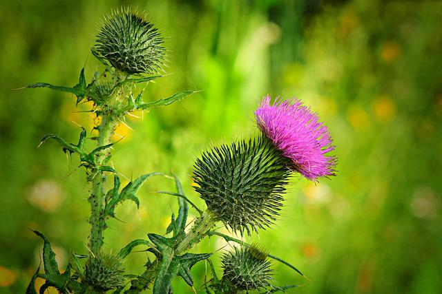 Thistle, Flower, Plant, Prickly, Wild Flower, Spur