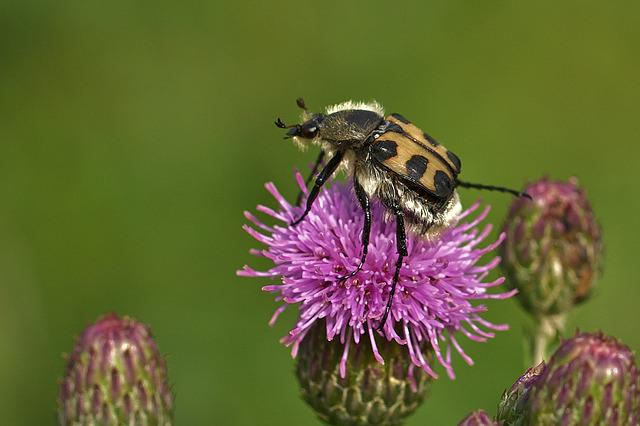 Insect, Blossom, Bloom, Thistle