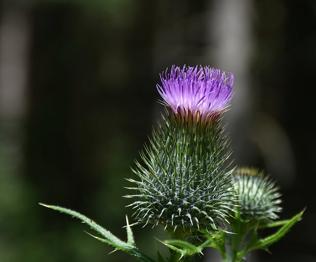 Thistle, Pappus, Flower Coronary, Acker Thistle, Flora