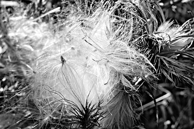 Milk Thistle, Thistle, Thistledown, Plant, Flower
