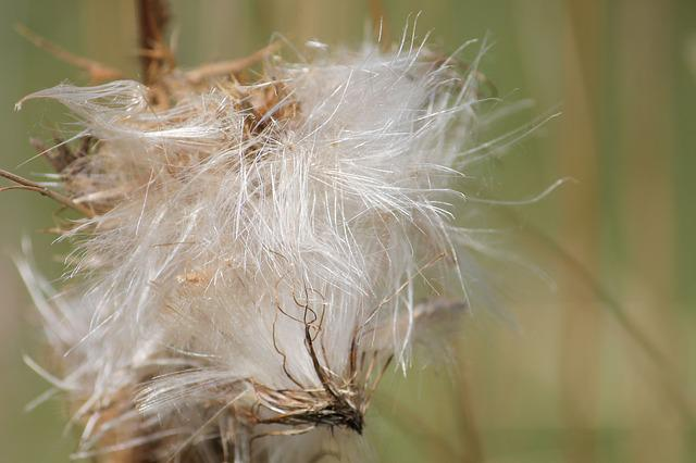 Thistle, Thistle Seed, Seeds Was, Faded, Seeds