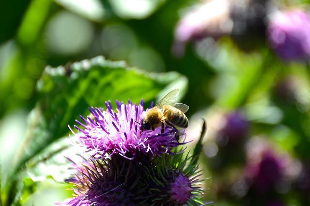 Bee, Thistle, Summer, Close Up, Insect
