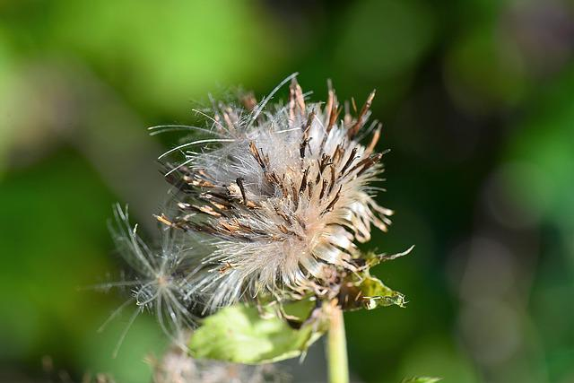 Thistle, Flourished From, Withers, Dry, Close Up