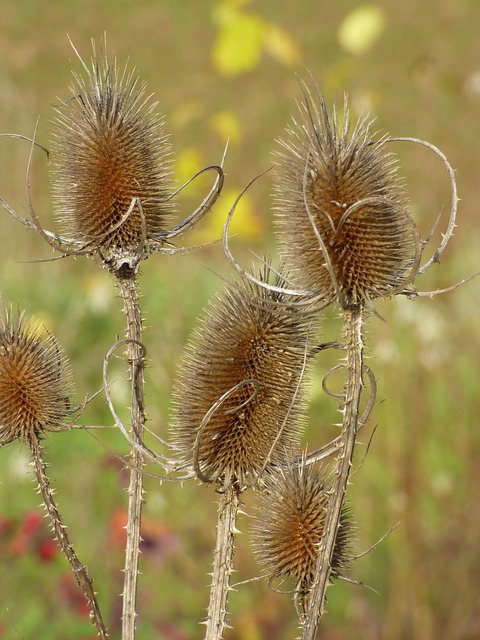 Nature, Thistles, Close, Spiny, Prickly, Flora