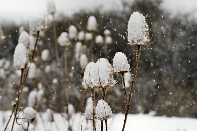 Thistles, Teasels, Snow, Ice, Flora, Wild, Sharp