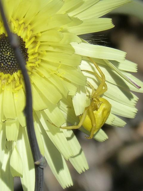 Thomisus Onustus, Spider Yellow, Flower, Detail