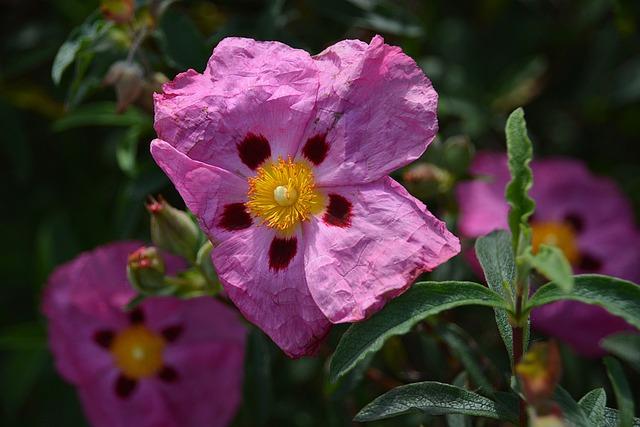 Flower, Eglantine, Thorns, Botany, Garden, Flowering