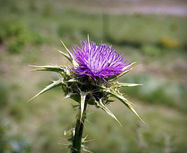 Thistle, Flower, Violet, Thorny, Thorns, Hawthorn