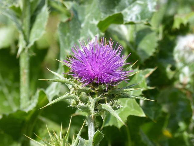 Thistle, Wild Flower, Thorns, Thorny, Cotton Thistle