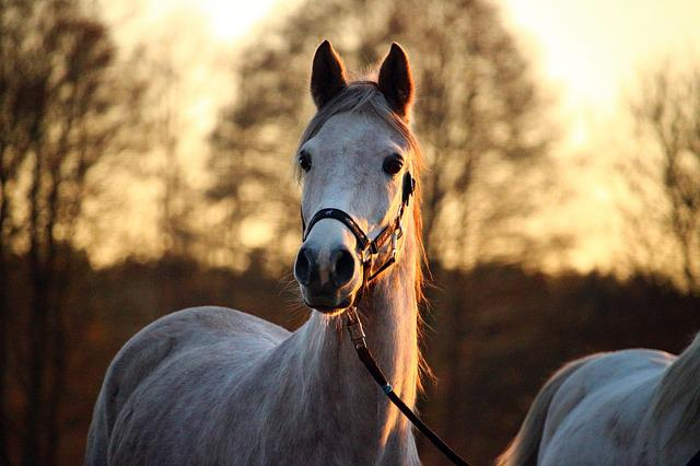 Mold, Horse, Afterglow, Thoroughbred Arabian