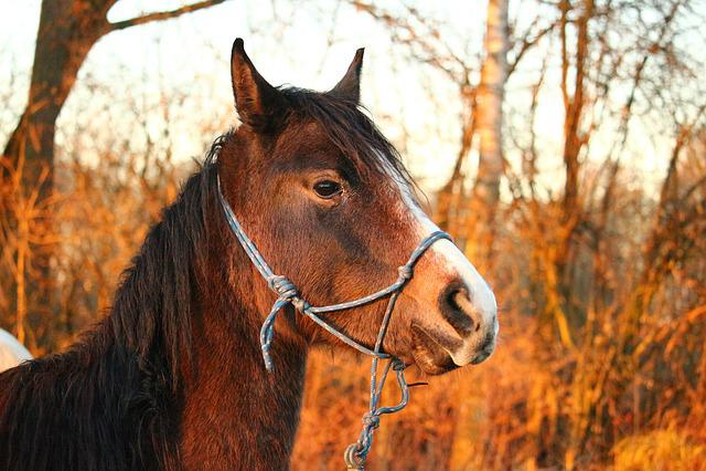 Horse, Thoroughbred Arabian, Brown Mold, Horse Head