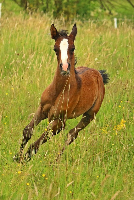 Foal, Horse, Thoroughbred Arabian, Suckling, Animal