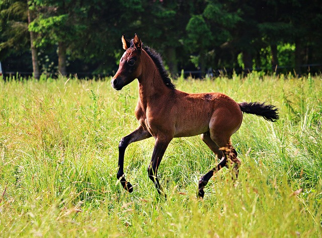 Horse, Foal, Brown Mold, Thoroughbred Arabian, Meadow