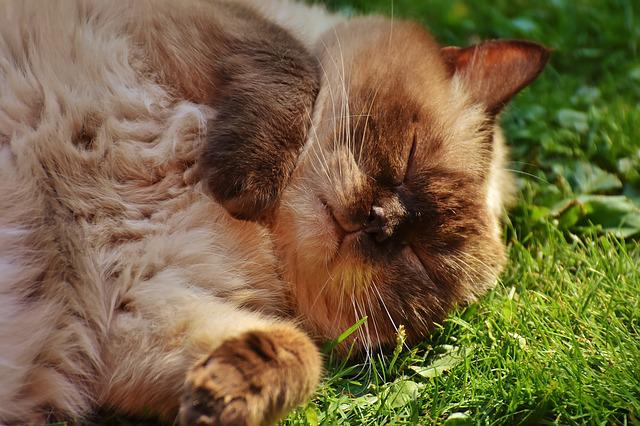 Cat, British Shorthair, Thoroughbred, Fur, Brown, Beige