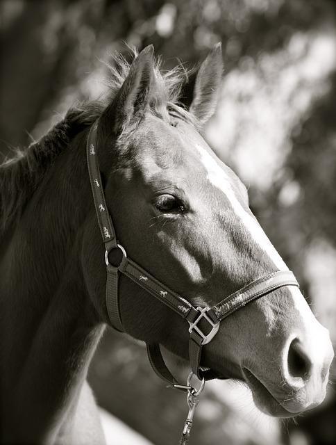 Black White, Thoroughbred, Mare, Horse