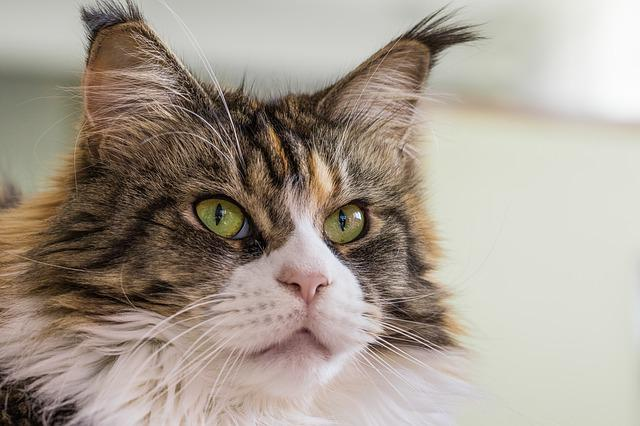 Cat, Thoroughbred, Domestic Cat, Mustache, Cat Eyes