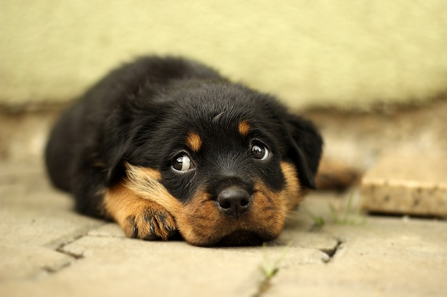 Rottweiler, Puppy, Dog, Background, Thoroughbred