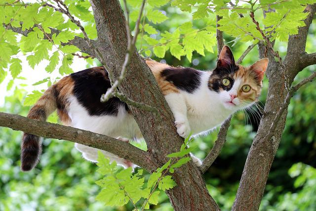 Cat, Three Colored Cat, Three Coloured, Lucky Cat