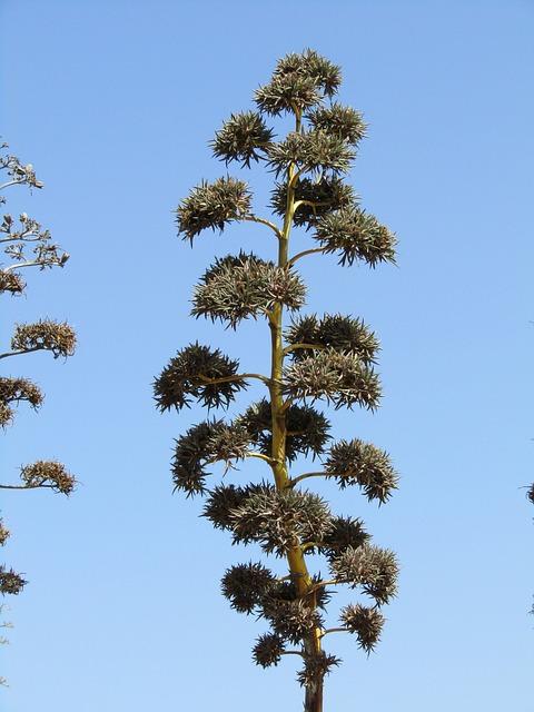 Agave, Flora, Three, Spain, Plant, Green