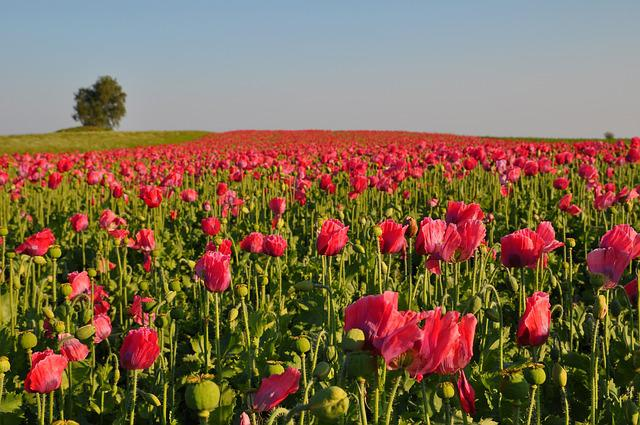 Poppy, Thriving Mohnfeld, Nature