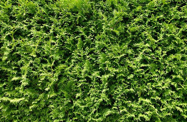 Thuja Hedge, Hedge, Plant, Green, Stuff