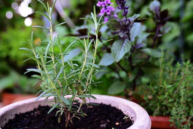 Rosemary, Basil Bush Basil, Thyme, Herbs