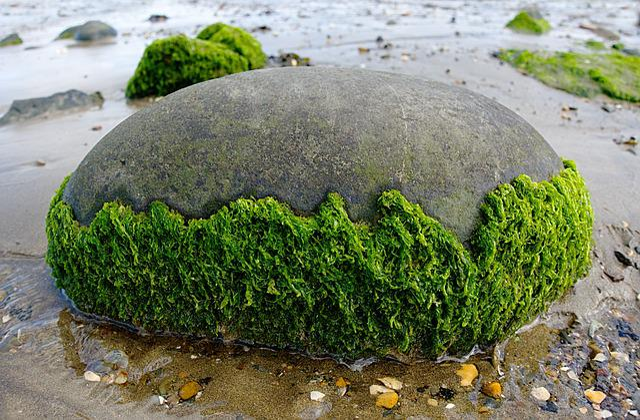 Seaweed, Rock, Round, Beach, Seaside, Marine, Tidal