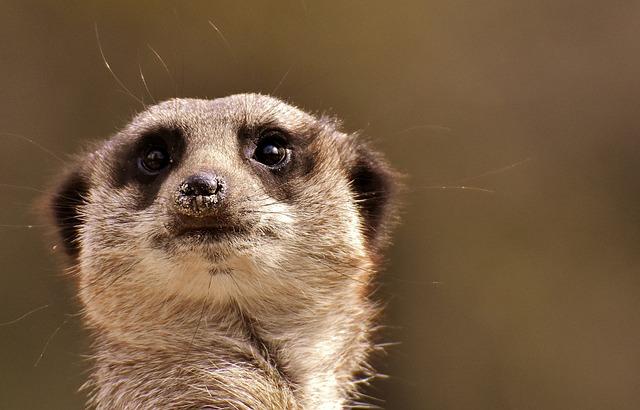Meerkat, Animal, Nature, Zoo, Tiergarten, Small, Fur