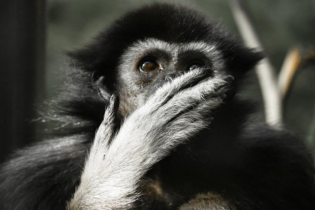 Animal, Monkey, Gibbon, Mammal, Thoughtful, Tiergarten