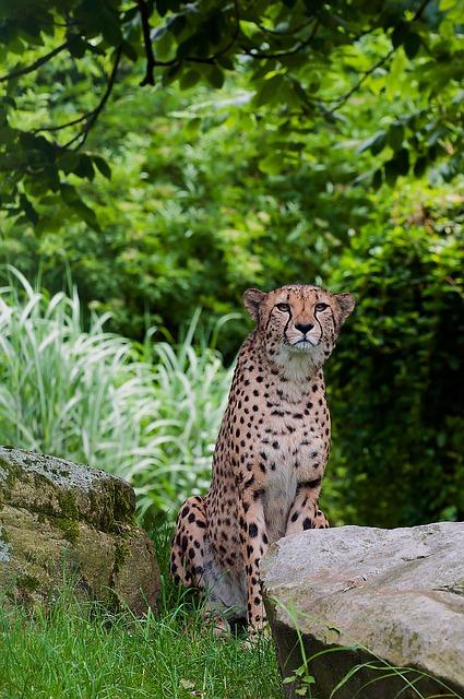 Cheetah, Predator, Wild Animal, Speed, Tiergarten