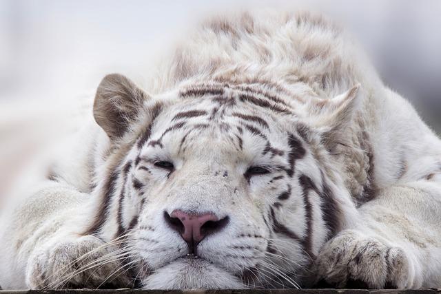 Tiger, White, Animal, Cat, Predator, Zoo, Bengal
