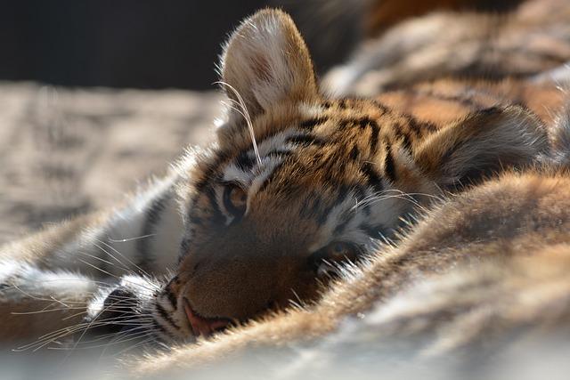 Tiger, Nature, Animal World, Animal, Mammal