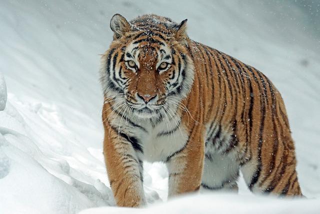 Tiger, Siberian Tiger, Snow, Predator, Carnivore