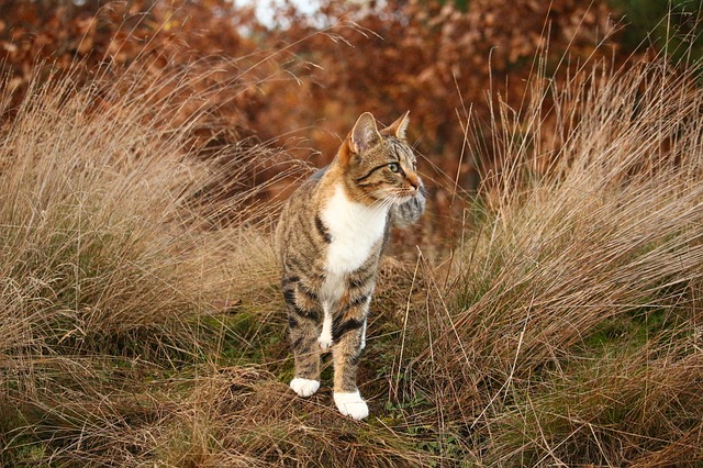 Cat, Tiger Cat, Mieze, Domestic Cat, Grass, Autumn