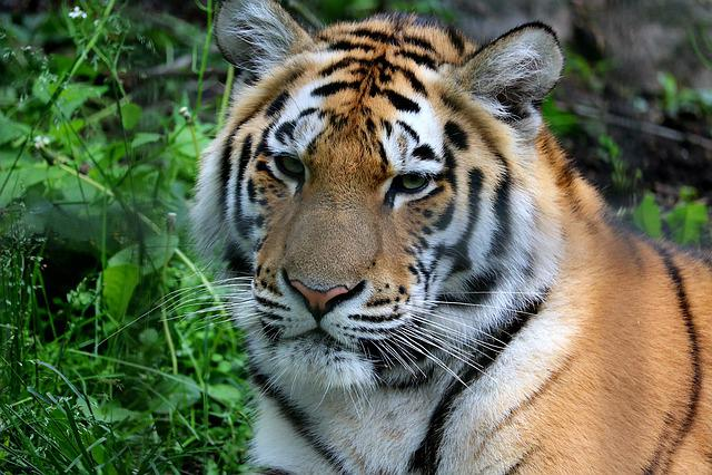 Cat, Carnivorous, Mammals, The Animal Kingdom, Tiger