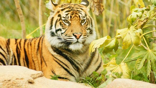 Tiger, Cub, Cat, Striped, Wild, Young, Feline, Animal