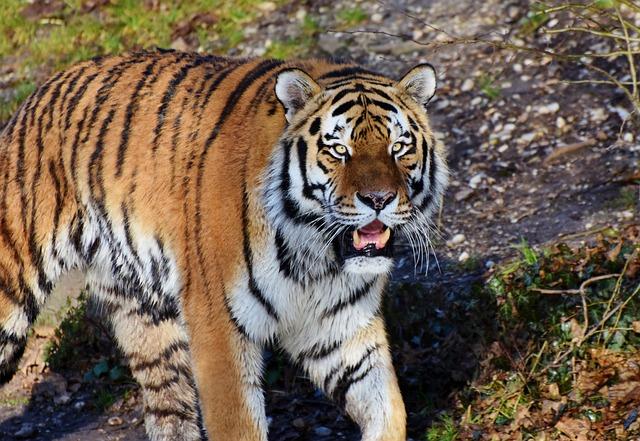 Tiger, Cat, Predator, Wildcat, Big Cat, Tiger Head