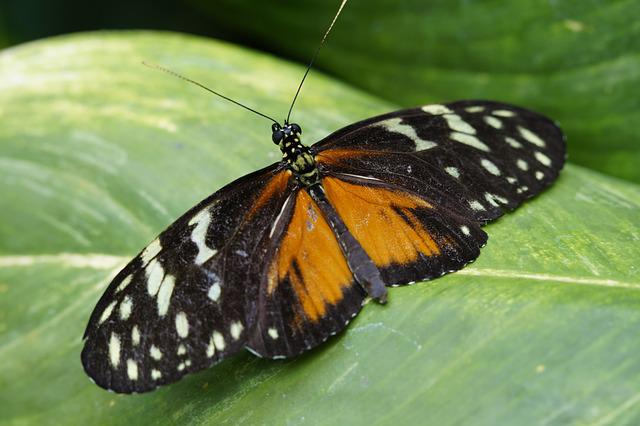 Tiger Longwing, Butterfly, Tropical, Exotic, Exot