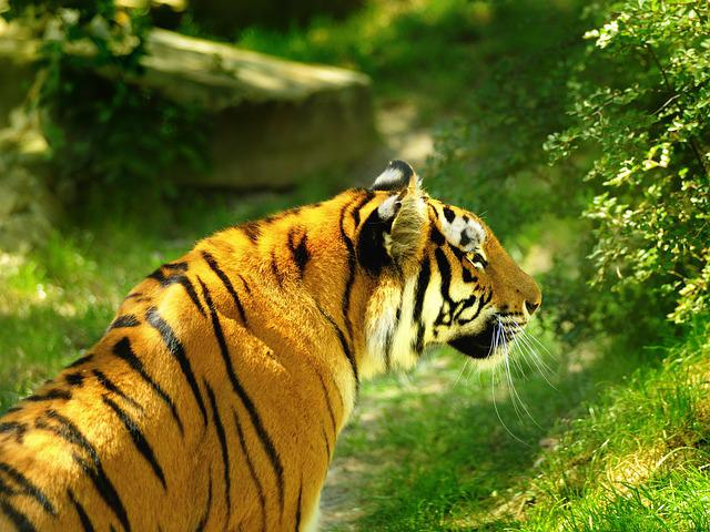 Living Nature, Mammals, Tiger