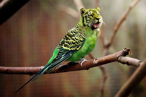Tiger, Budgie, Tiger Parakeet, Photoshop