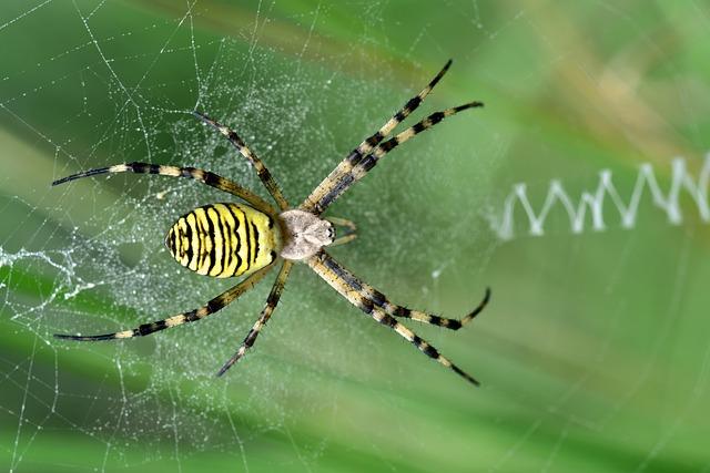 Wasp Spider, Zebraspinne, Tiger Spider