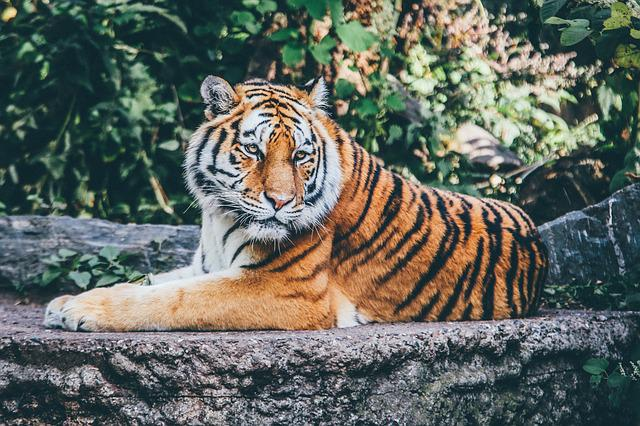 Animal, Big Cat, Safari, Tiger, Wild Cat, Wildlife, Zoo