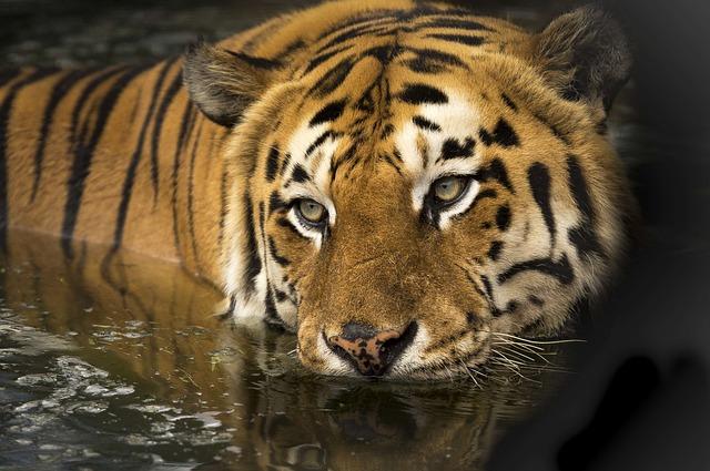 Tiger, Wildlife, Eyes, Bathing, Lake, Wild, Predator