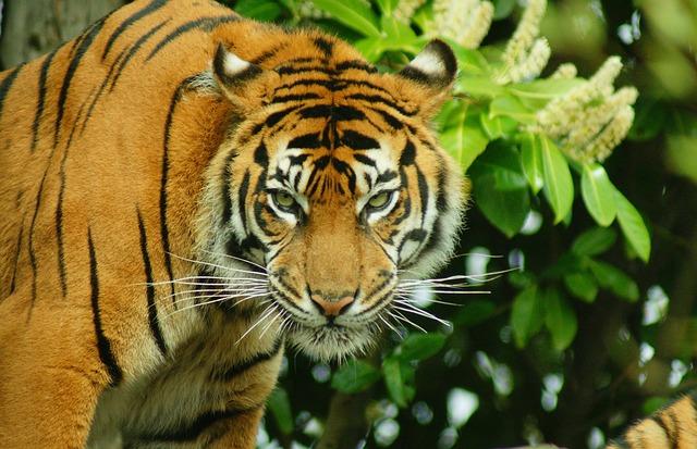Tiger, Big Cat, Wildlife, Striped, Fur, Feline, Mammal