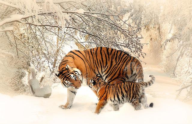 Tiger, Tiger Baby, Tigerfamile, Young, Family