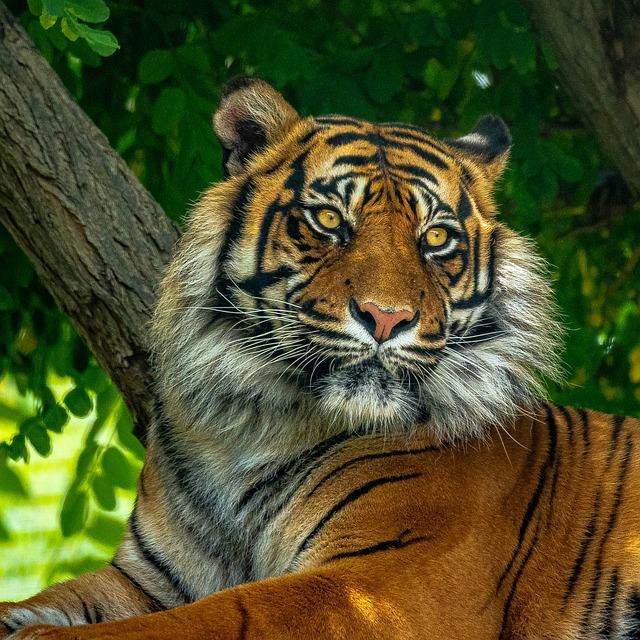 Tigre, Tiger, Animale, Zoo, Animals, Ambient