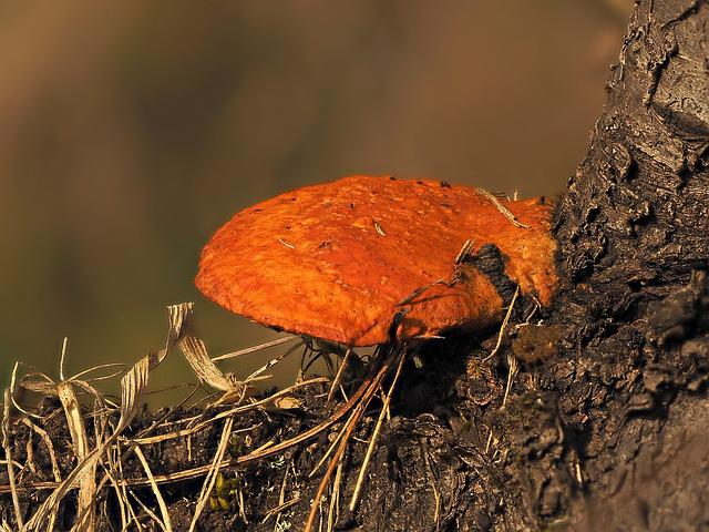 Pycnoporus, Cinnabarinus, Tin Top Turkey Tail